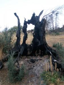 Από τα αιωνόβια δέντρα, απέμειναν μόνο τα μαύρα κουφάρια